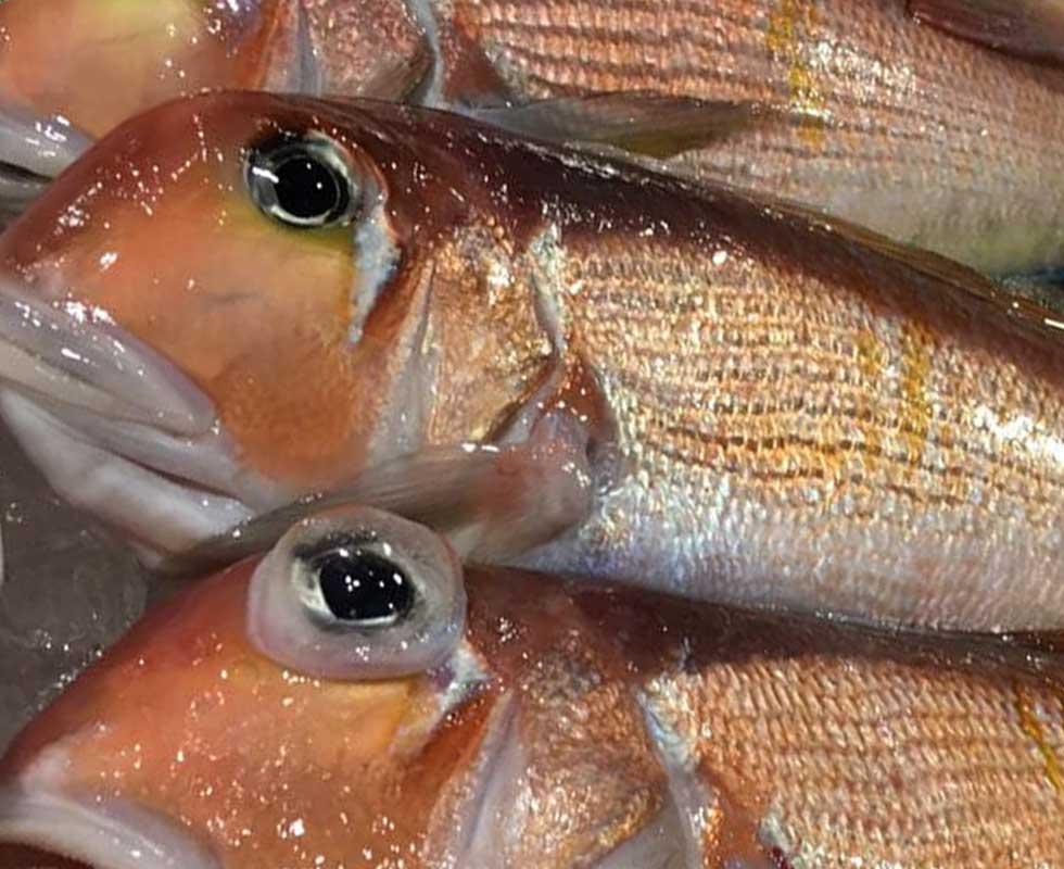 外食用 甘鯛・日本一の甘鯛 山口県産天然甘鯛